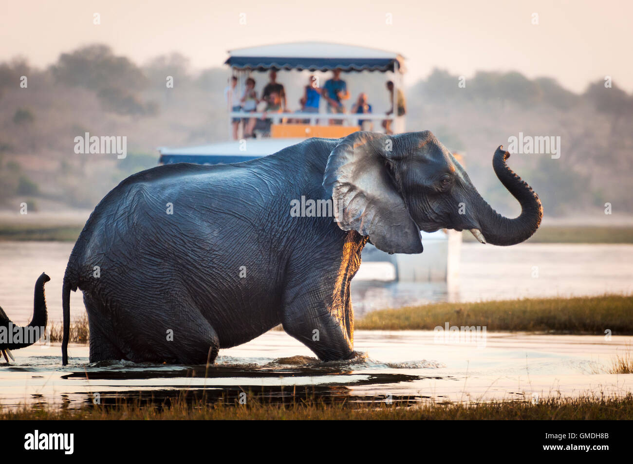 Tourist watching an elephant crossing a river in the Chobe National Park in Botswana, Africa; - Stock Image