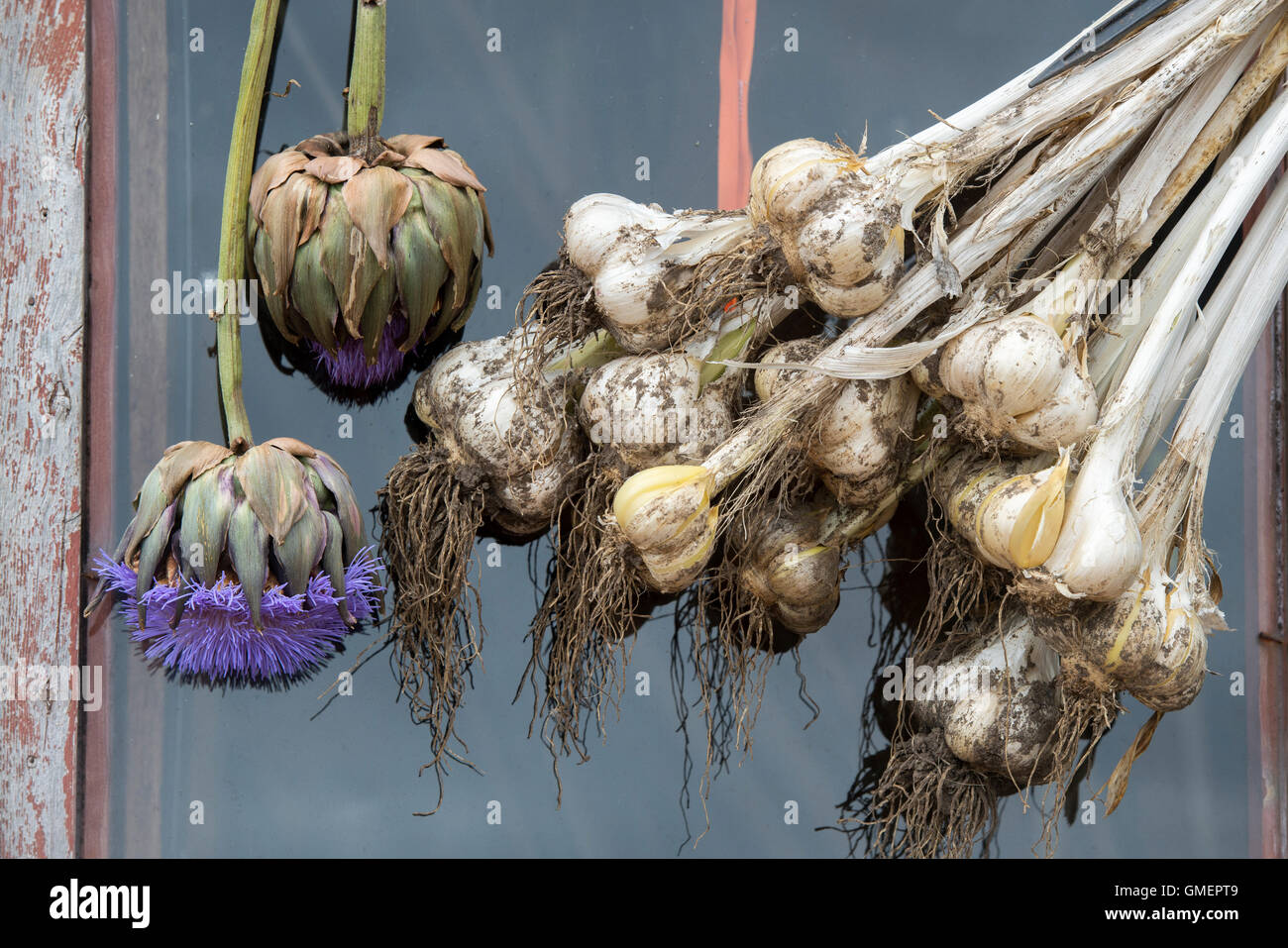 Globe artichoke flowers and Elephant garlic bulbs hanging in front of a garden shed window - Stock Image