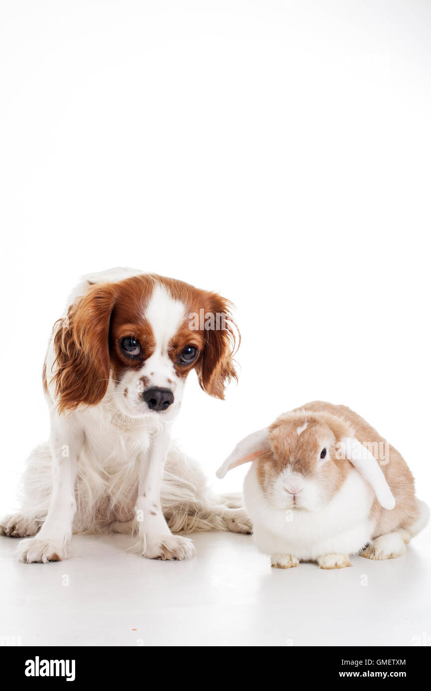 Dog with bunny. Cavalier king charles spaniel with rabbit sit together in white studio background. Animal friends - Stock Image