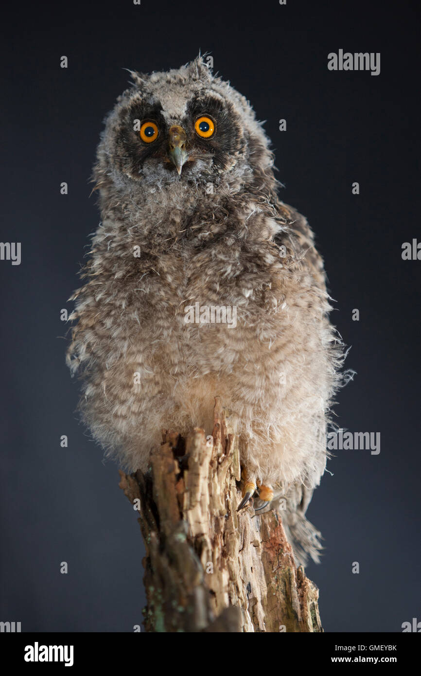 Waldohreule, Ästling, Küken, Jungtier, Jungeule, Waldohr-Eule, Asio otus, long-eared owl, brancher, branchling, - Stock Image