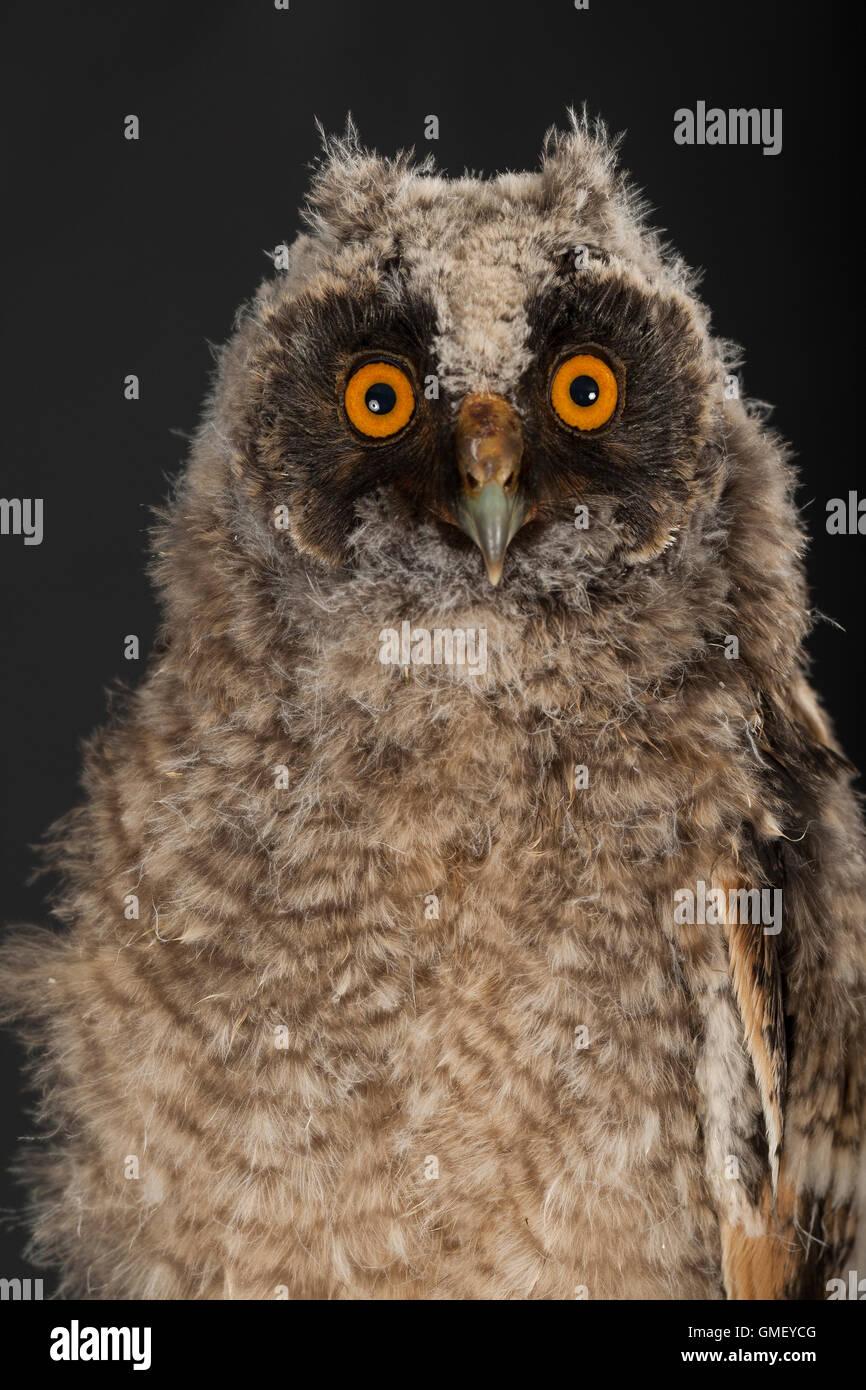 Waldohreule, Ästling, Küken, Jungtier, Jungeule, Waldohr-Eule, Asio otus, long-eared owl, brancher, branchling, Stock Photo