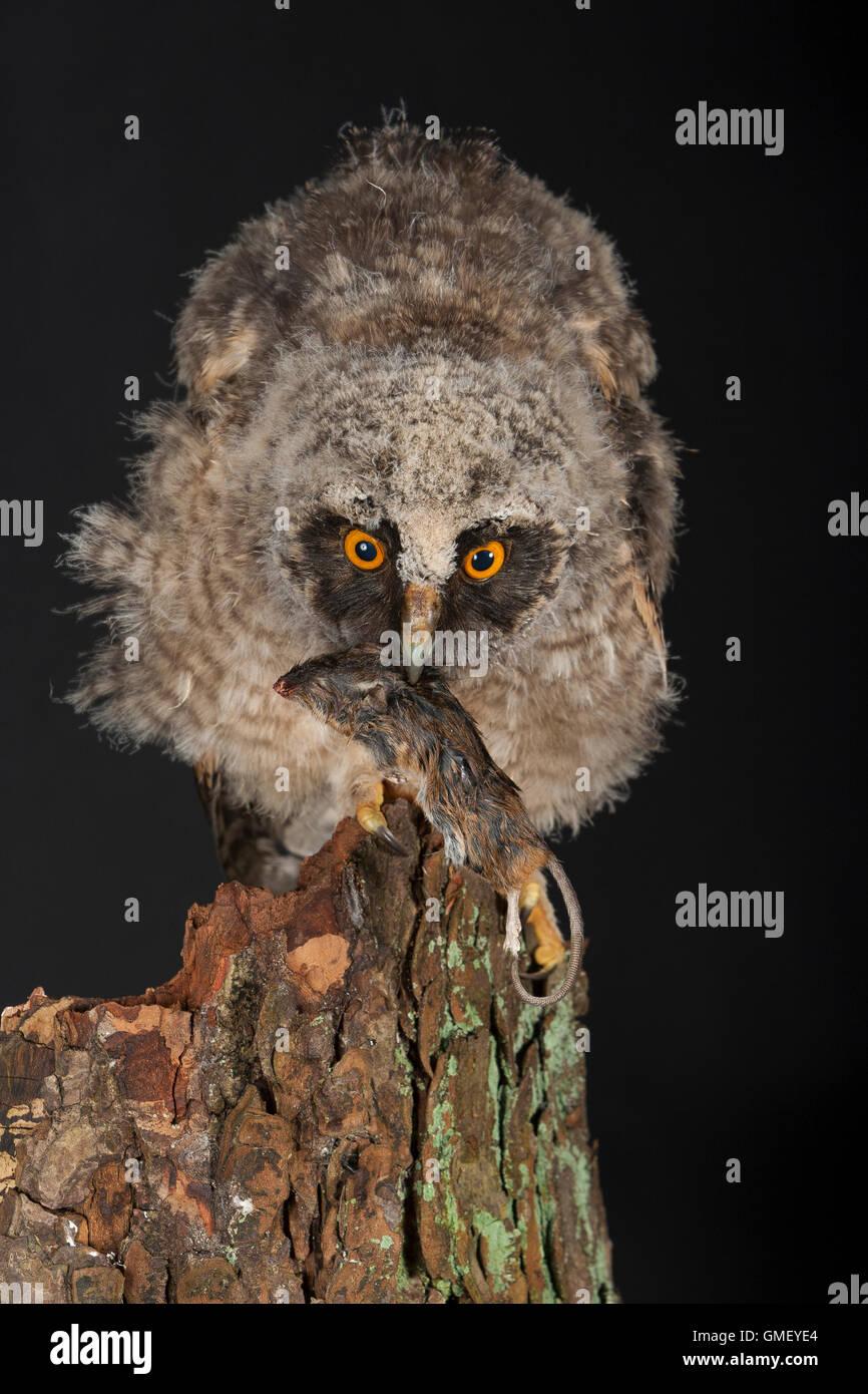 Waldohreule, Ästling frisst eine Maus, Beute, Küken, Jungtier, Jungeule, Waldohr-Eule, Asio otus, long-eared owl, brancher, bran Stock Photo