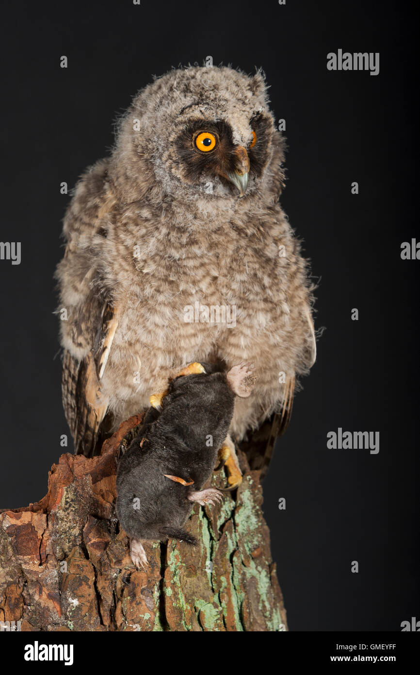 Waldohreule, Ästling frisst einen Maulwurf, Beute, Küken, Jungtier, Jungeule, Waldohr-Eule, Asio otus, long-eared owl, brancher, Stock Photo