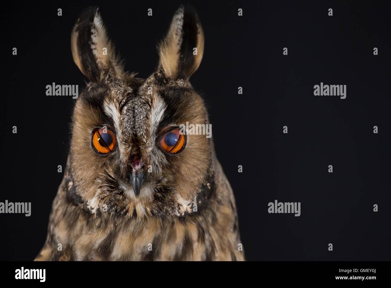 Waldohreule, Nickhaut am Auge, Waldohr-Eule, Asio otus, long-eared owl, Le Hibou moyen-duc - Stock Image