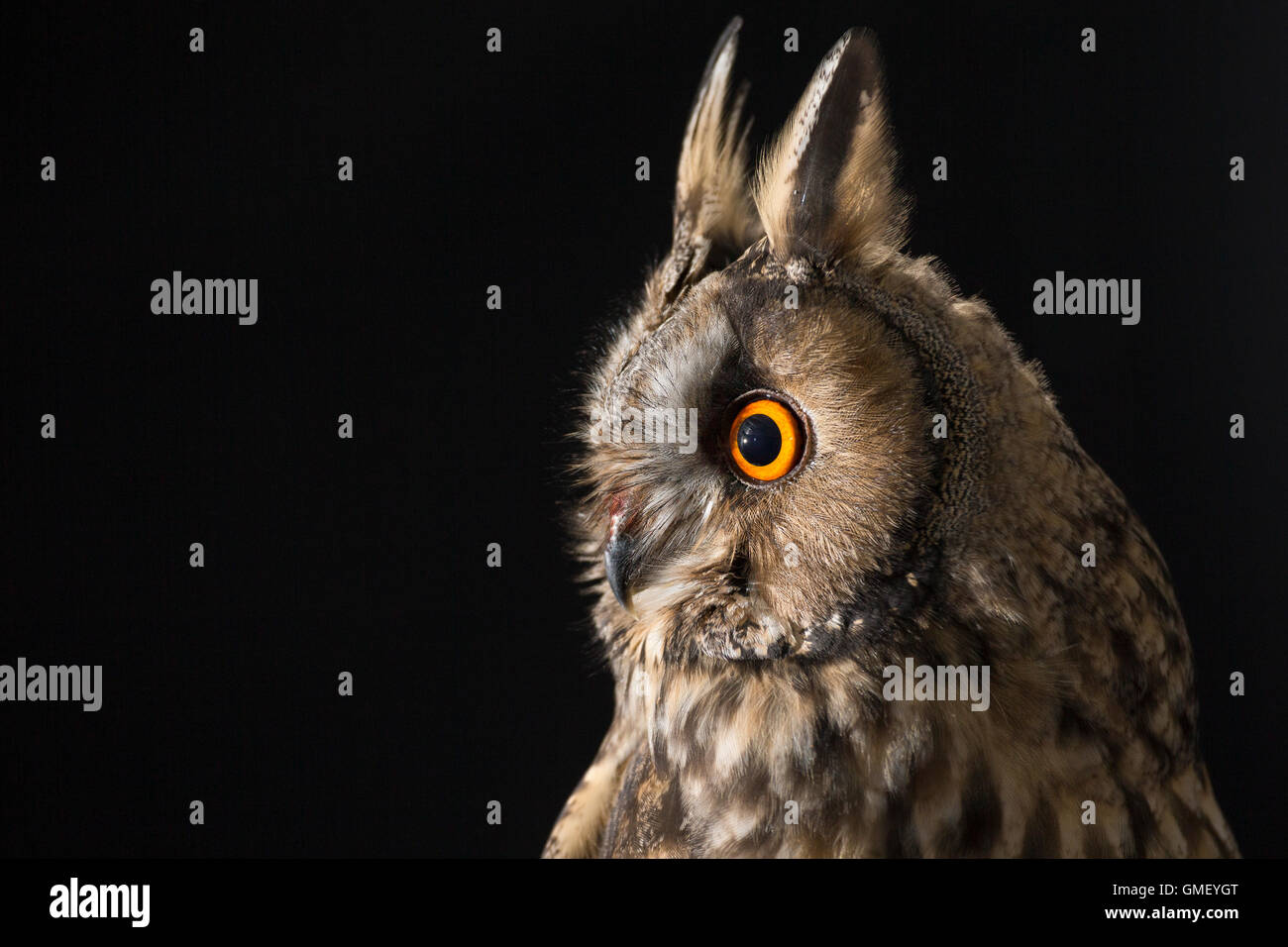 Waldohreule, Waldohr-Eule, Asio otus, long-eared owl, Le Hibou moyen-duc Stock Photo