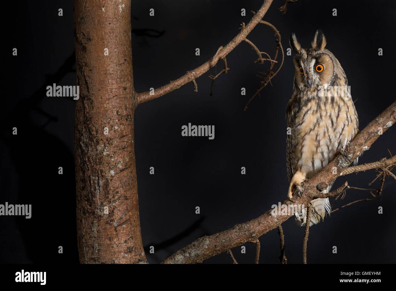 Waldohreule, Waldohr-Eule, Asio otus, long-eared owl, Le Hibou moyen-duc Stock Photo