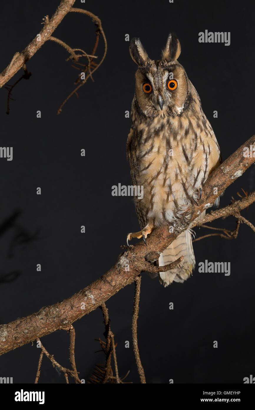 Waldohreule, Waldohr-Eule, Asio otus, long-eared owl, Le Hibou moyen-duc - Stock Image