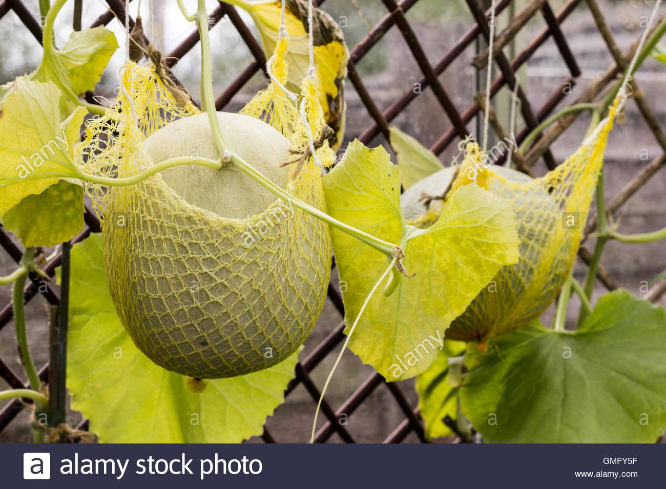 Melon being growing in a greenhouse being supported with a sling. - Stock Image