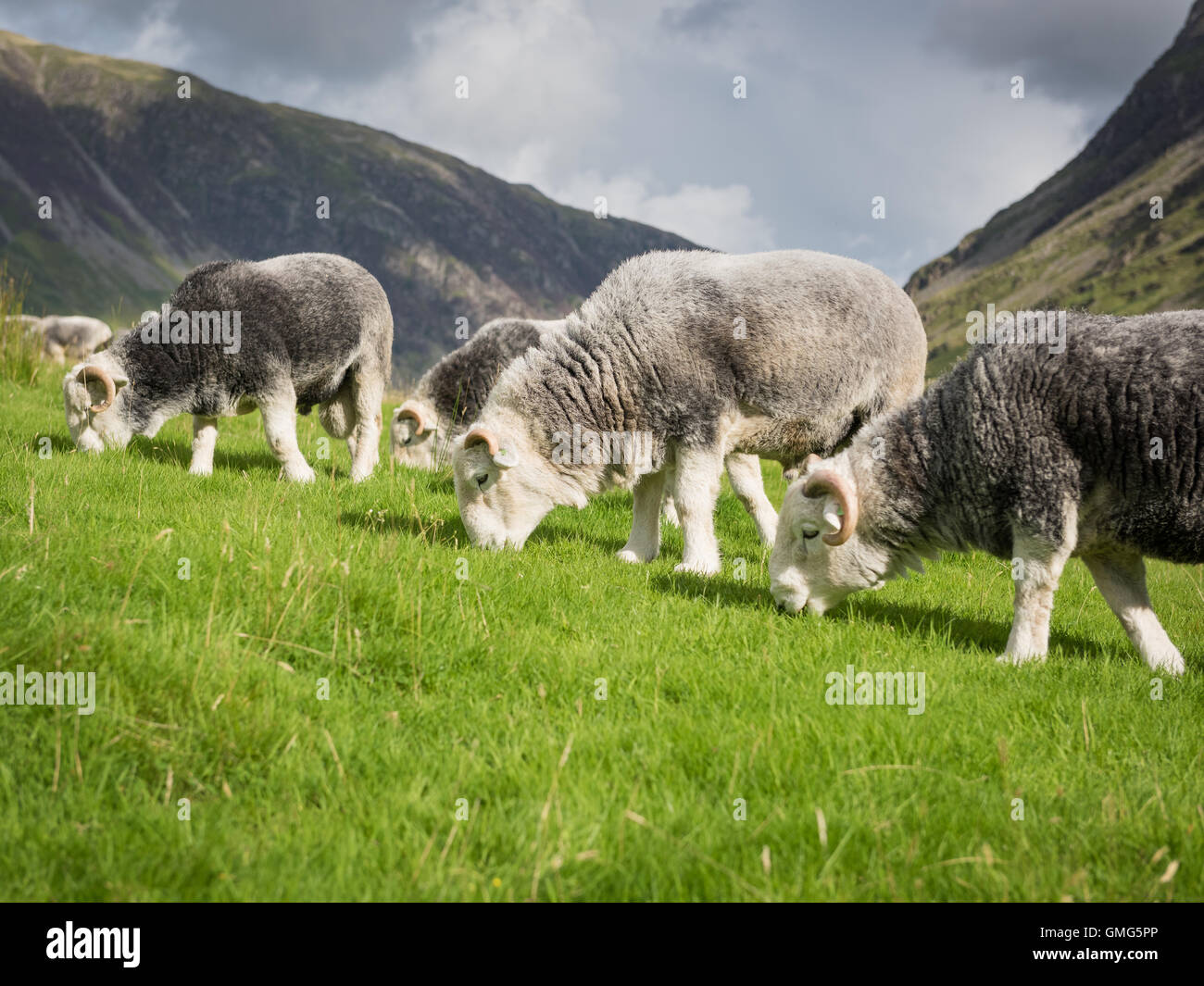 Herdwick tups, Buttermere, English Lake District national park, England, Uk - Stock Image