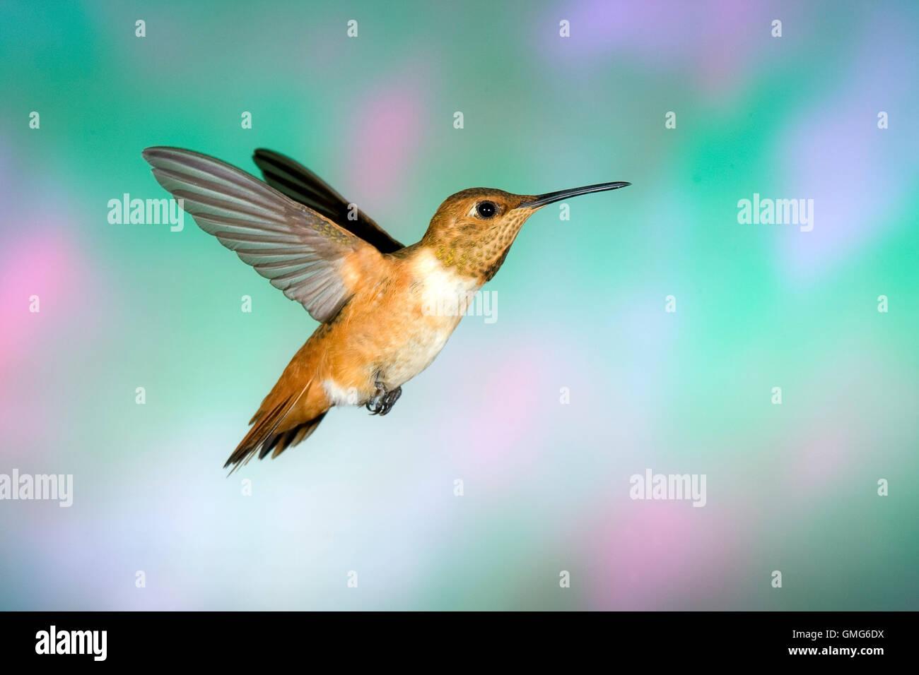 Allen's Hummingbird  Selasphorus sasin Sierra Vista, Cochise County, Arizona, United States 23 August       - Stock Image
