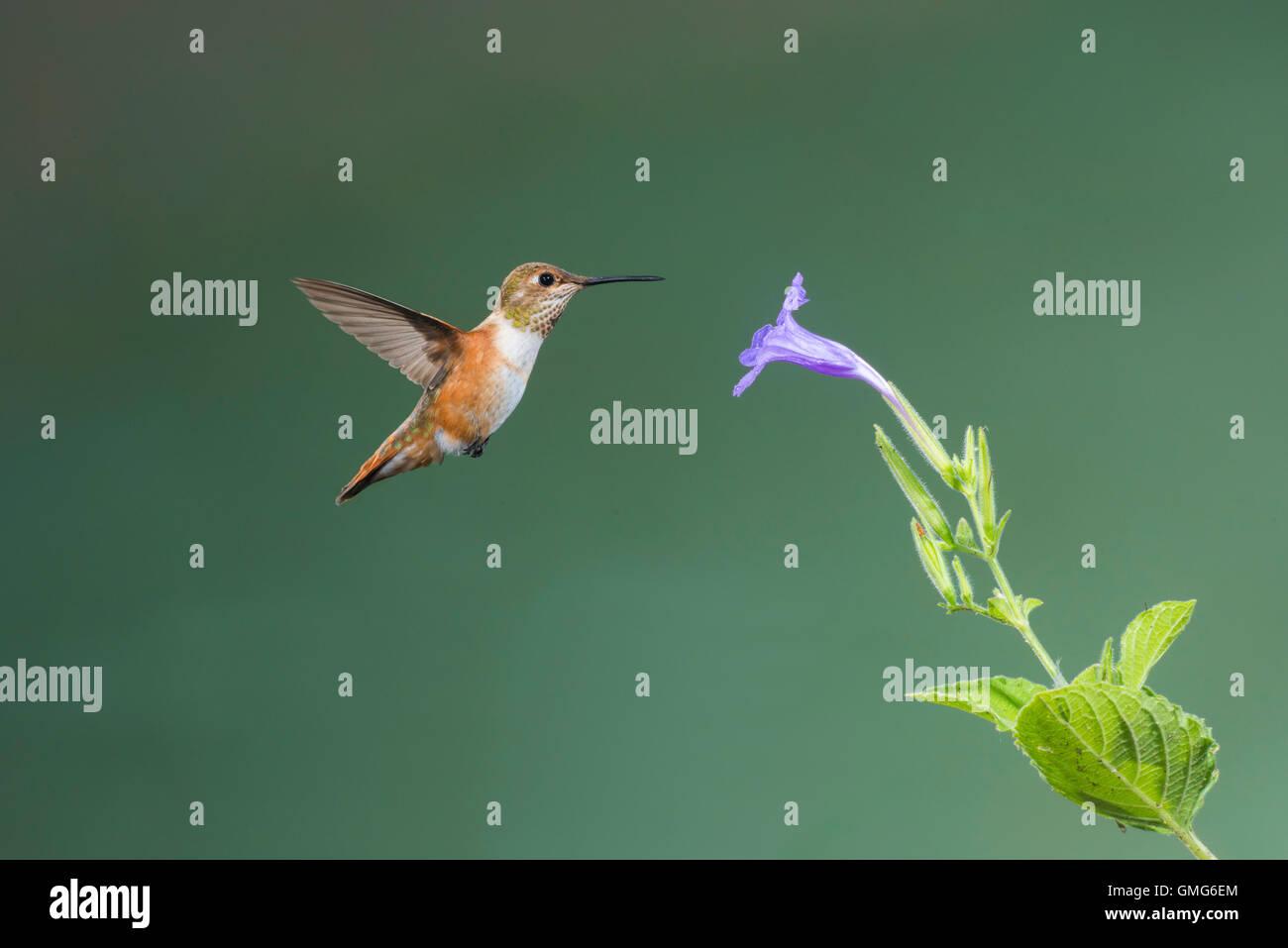 Rufous Hummingbird  Selasphorus rufus Tucson, Pima County, Arizona, United States 25 August     Immature Male   - Stock Image