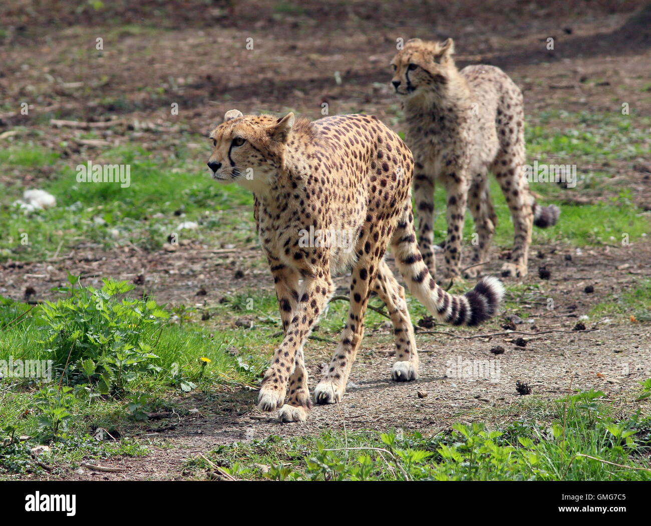 Female African Cheetah (Acinonyx jubatus) with an adolescent cub - Stock Image