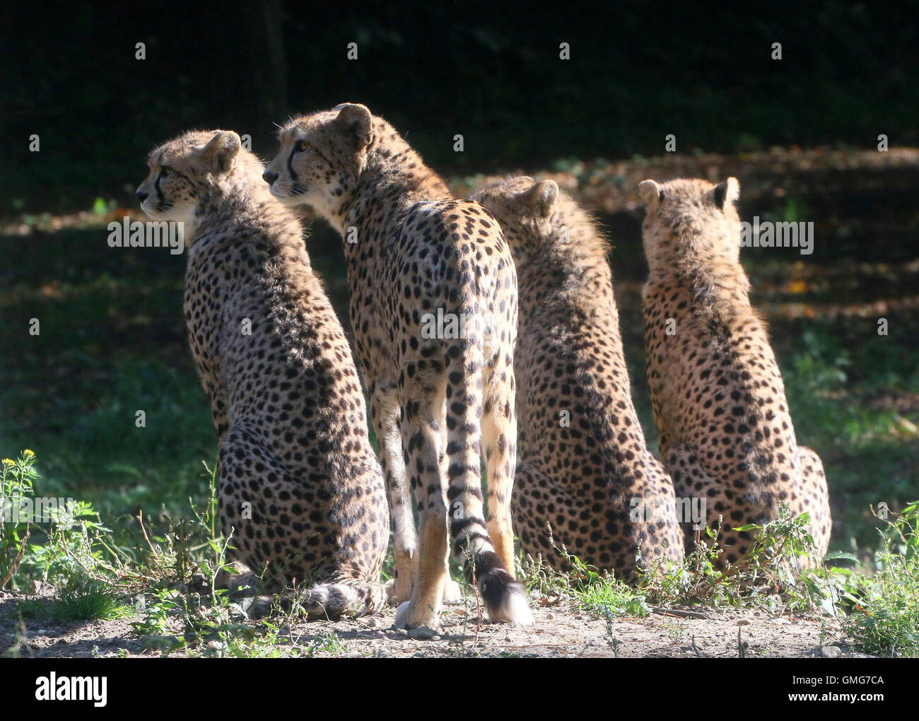 Mother Cheetah (Acinonyx jubatus) with three adolescent cubs, backlit.in the evening sun - Stock Image