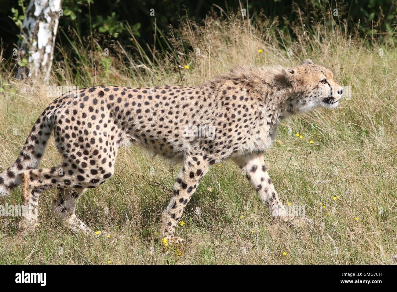 Male African Cheetah (Acinonyx jubatus)  walking, seen in profile - Stock Image