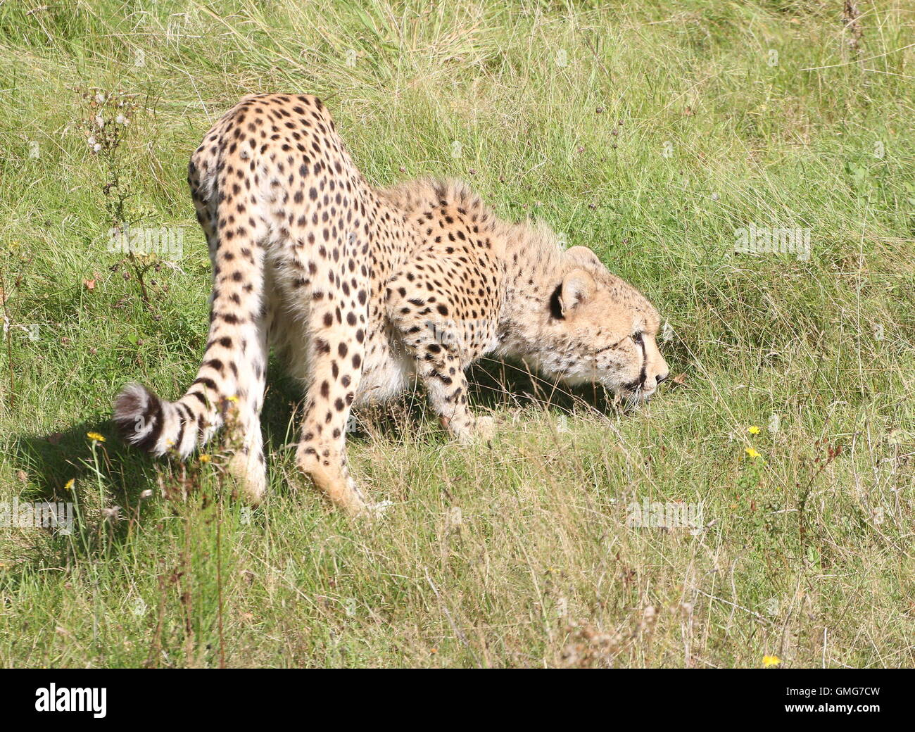 Male African Cheetah (Acinonyx jubatus)  on the prowl, picking up a scent - Stock Image