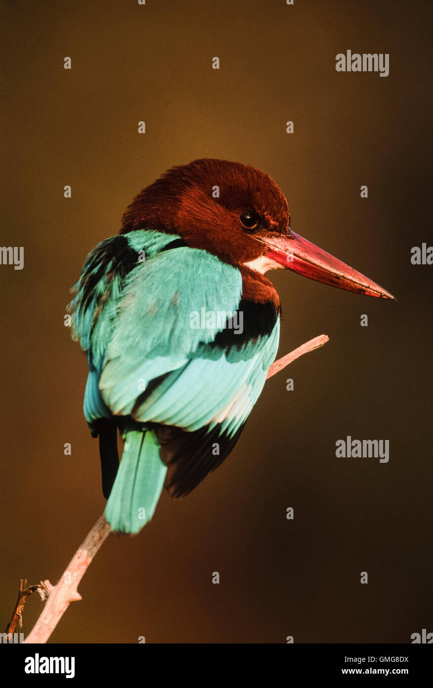 White-breasted Kingfisher or White-throated Kingfisher, (Halcyon smyrnensis) perched on branch, Bharatpur, India - Stock Image