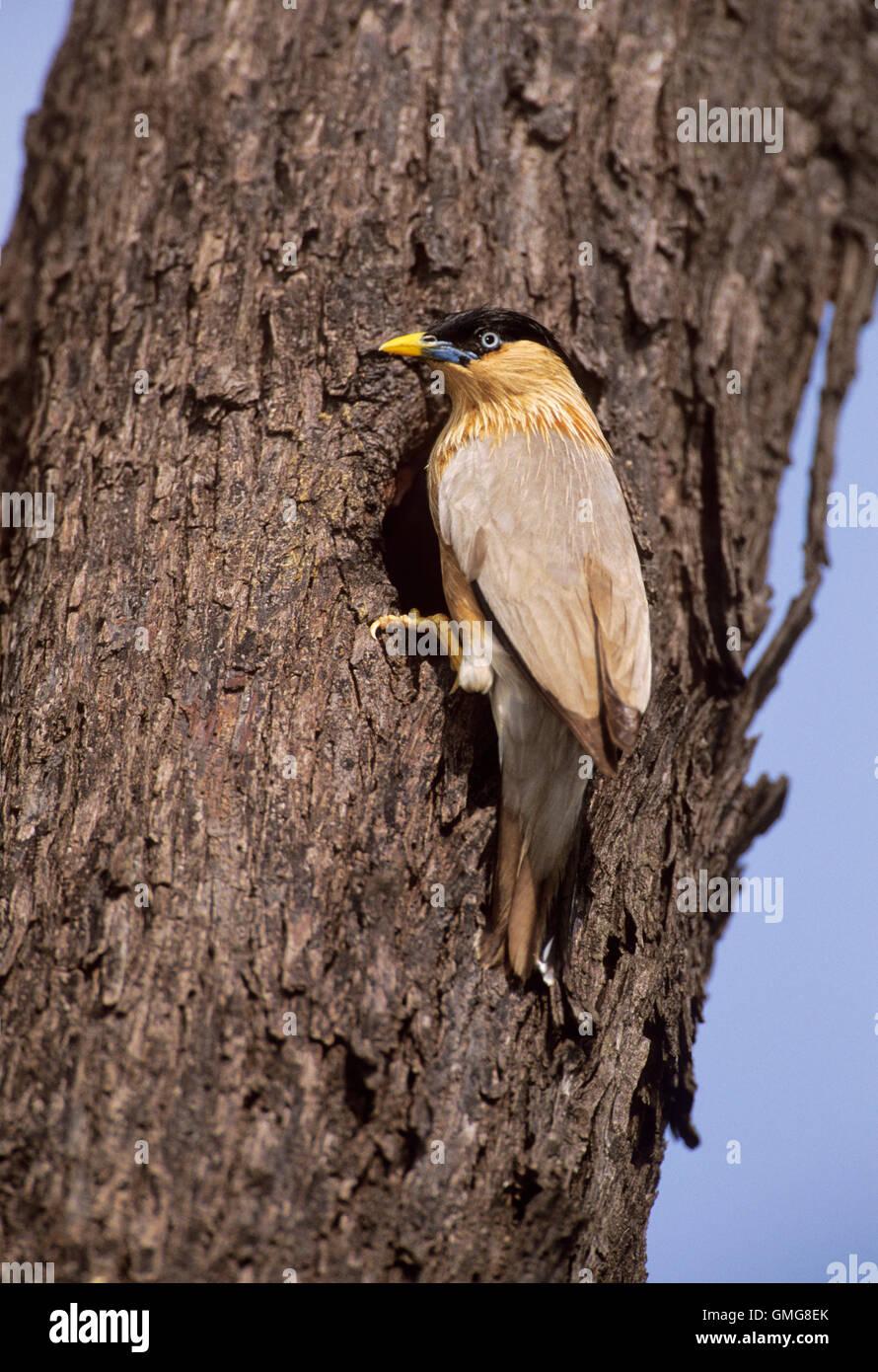Brahminy Myna or Brahminy Starling, Sturnus pagodarum, at nest hole on tree, Keoladeo Ghana National Park,India - Stock Image