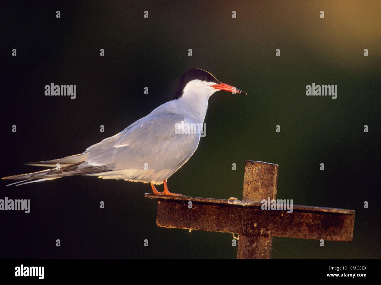 Common Tern,Sterna Hirundo, with summer plumage, Hampstead Heath ponds, London, Great Britain - Stock Image