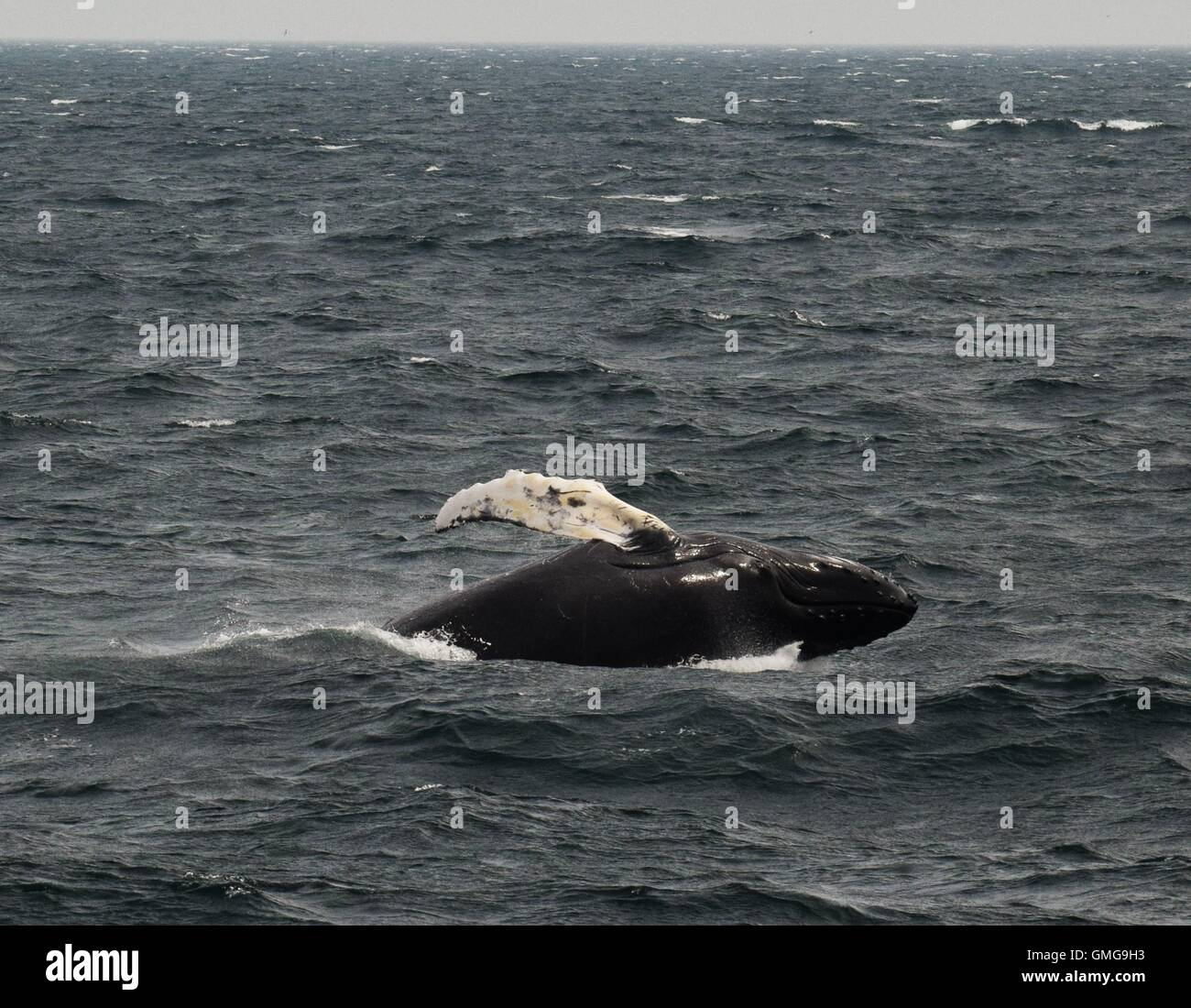 Humpback whales off the coast  of Massachusetts, pectoral slapping , breaching, diving - Stock Image