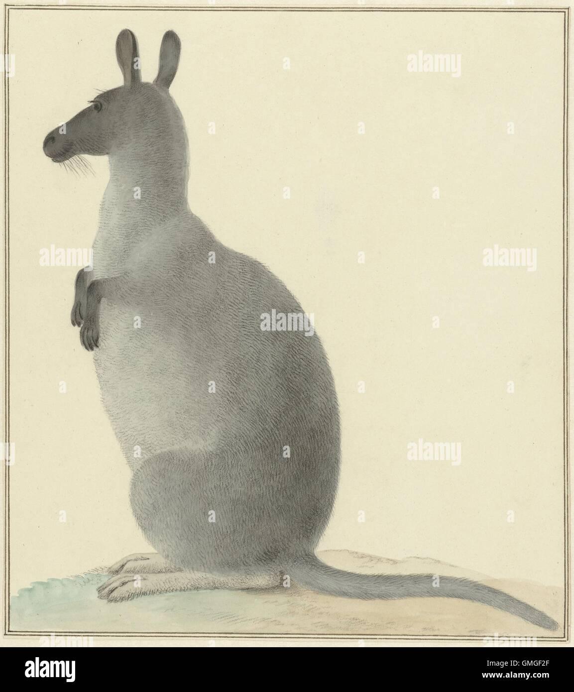 Kangaroo, by Isaac van Haastert, c. 1788-1830, Dutch painting, watercolor on paper. Van Haastert was a draftsman - Stock Image