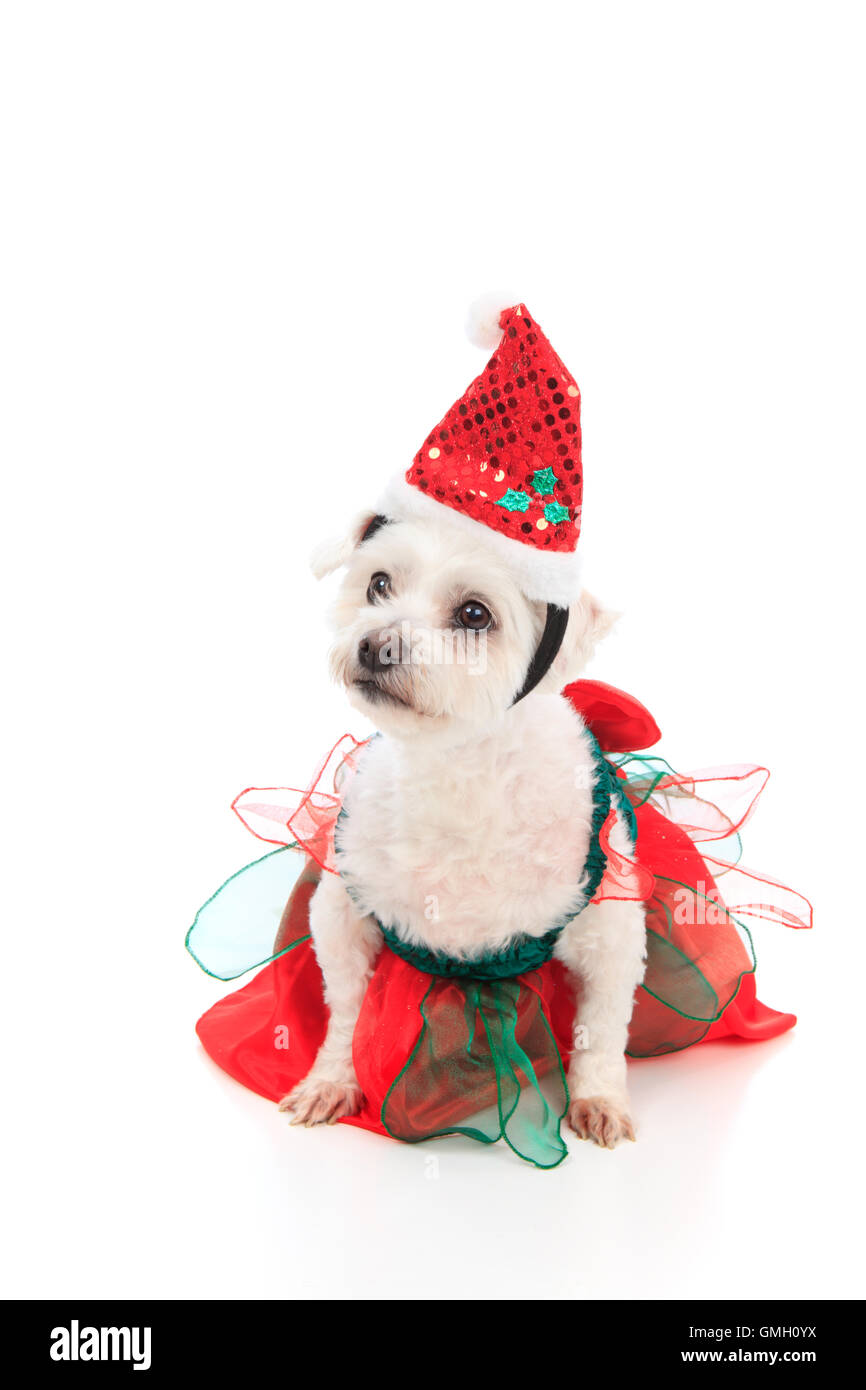 Cute Christmas pet dog - Stock Image