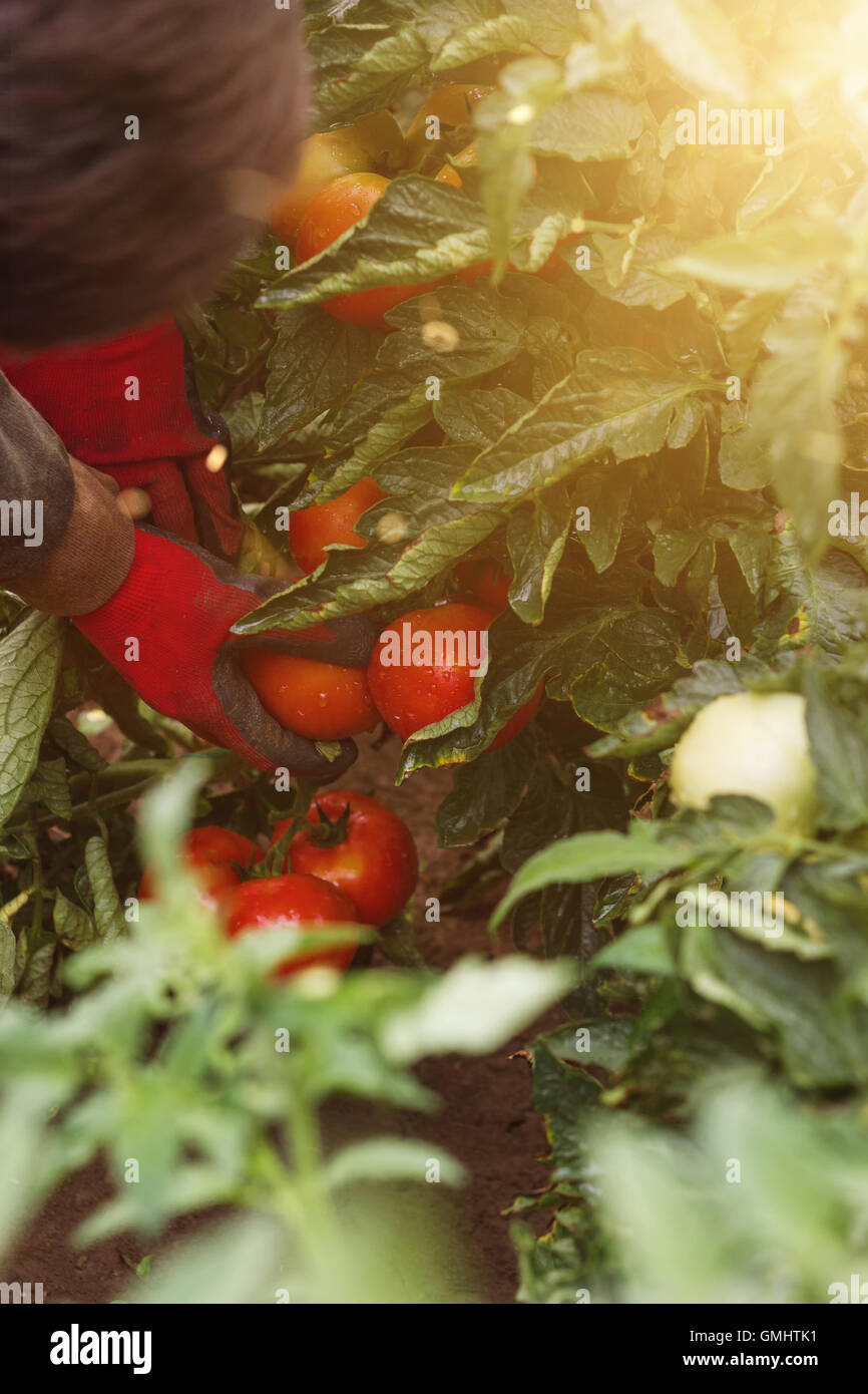 hands with protecting gloves picking up ripe red tomatoes - Stock Image