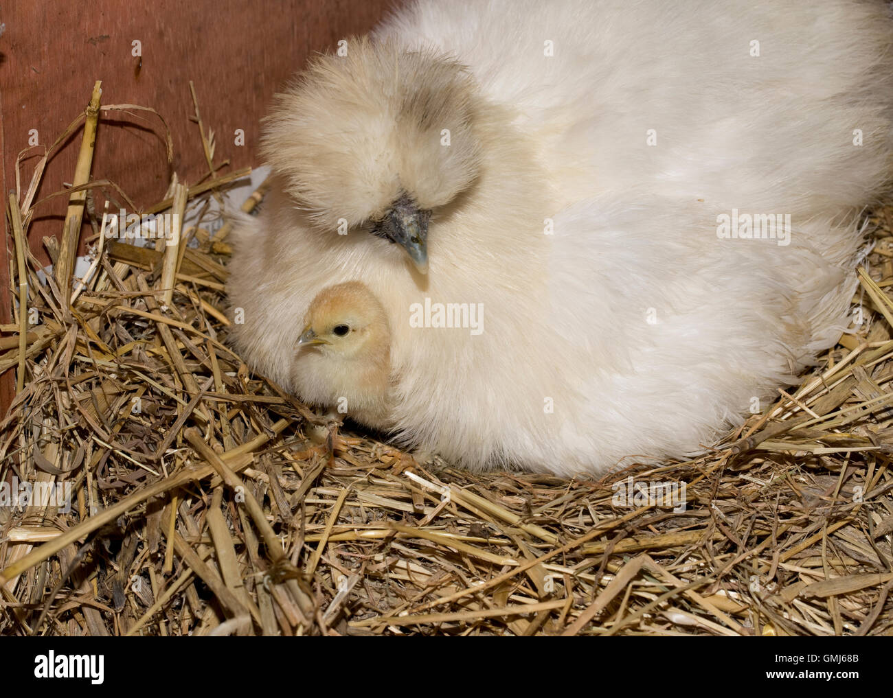 Newly hatched chick with broody Bantam hen Cotswold UK - Stock Image