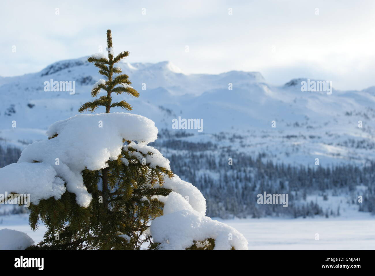 Snow-covered spruce in Norwegian landscape - Stock Image