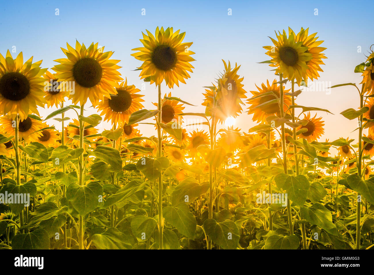 Rays of the rising sun breaking through sunflower plants field. - Stock Image