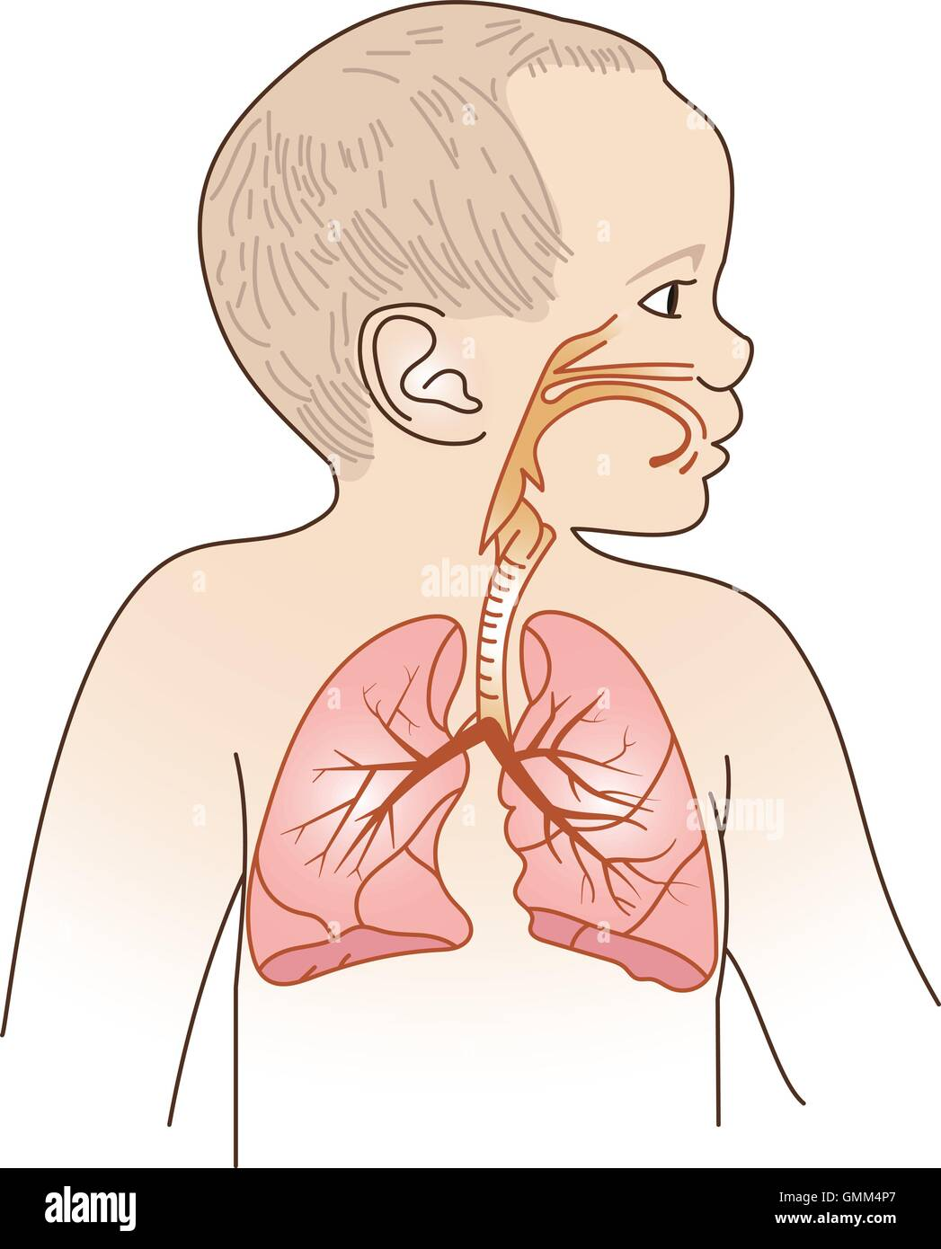 Child Respiratory Scheme - Stock Image