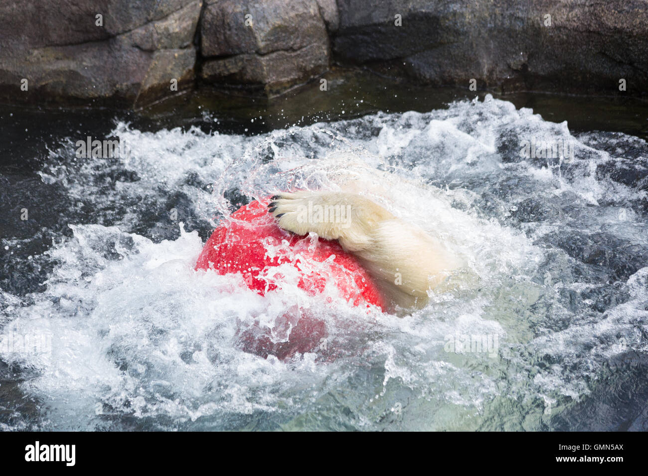 Thalarctos Maritimus (Ursus maritimus) commonly known as Polar bear - Stock Image
