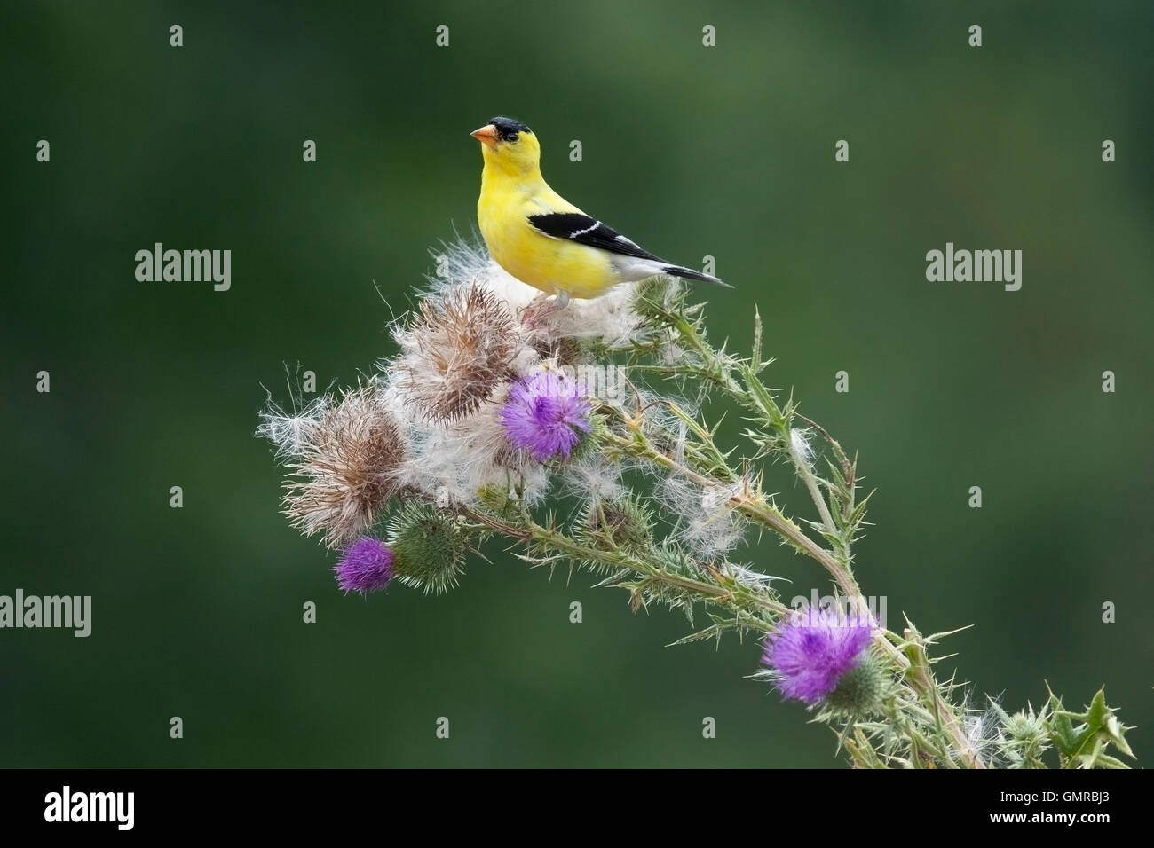 American goldfinch perches on thistle plant - Stock Image