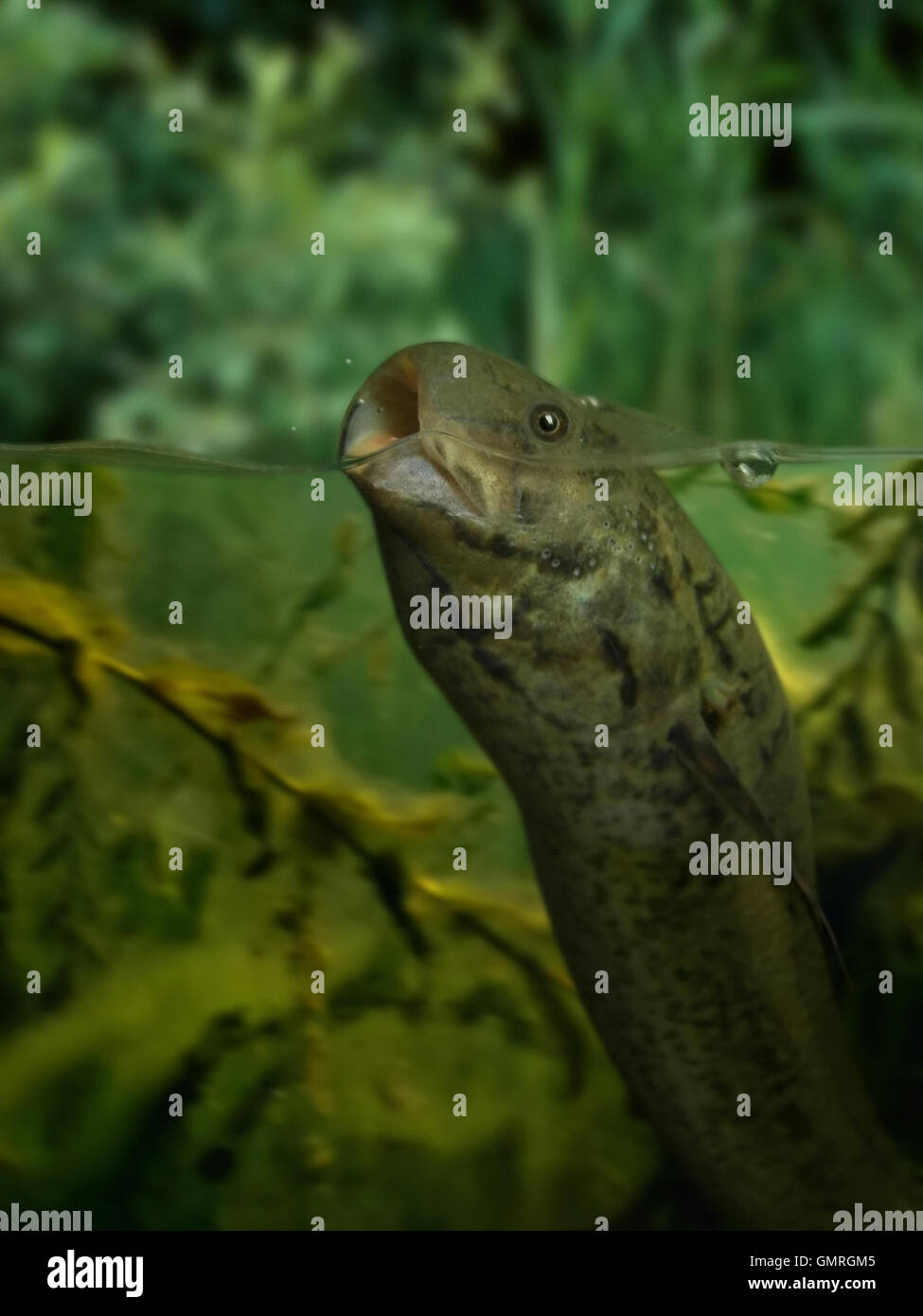 Slender lungfish, Protopterus dolloi. Breathing at surface. Head detail. - Stock Image