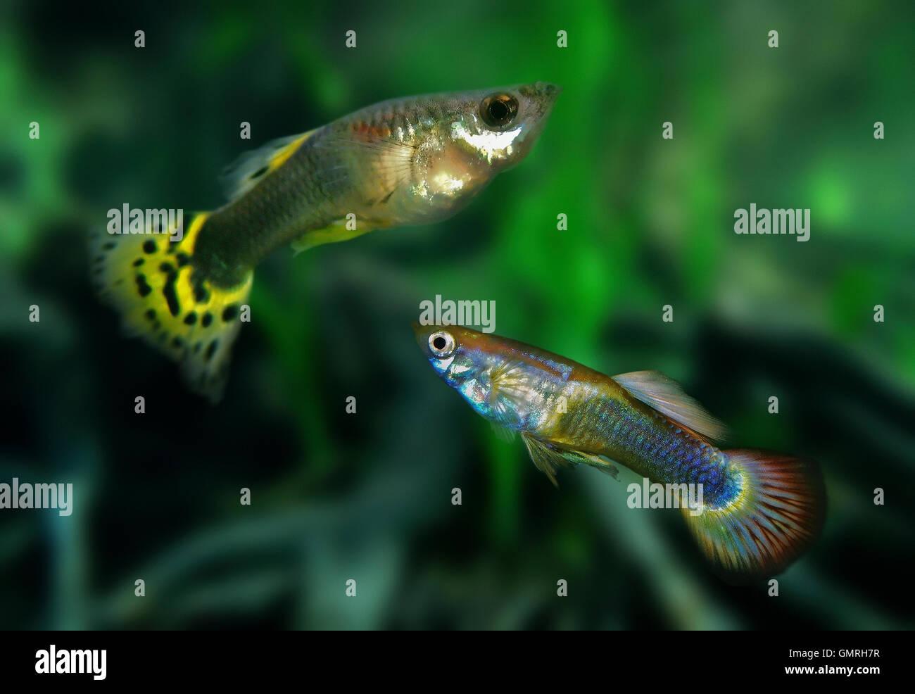 Guppy, Poecilia reticulata. Couple, male bellow. Aquarium. Portugal - Stock Image