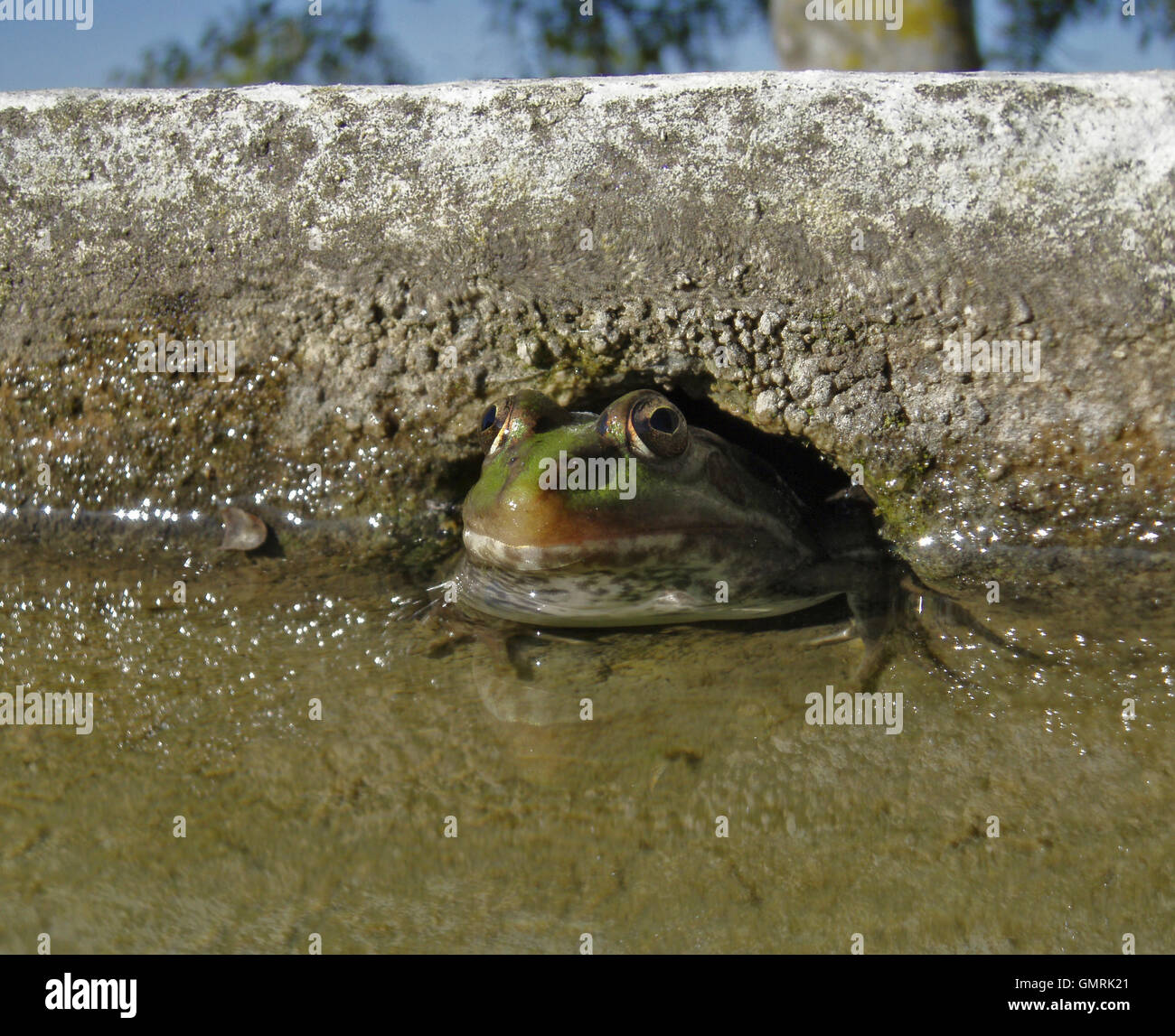 Marsh frog, Pelophylax ridibundus . Hidden on a hole on the wall of a water tank.  Portugal - Stock Image