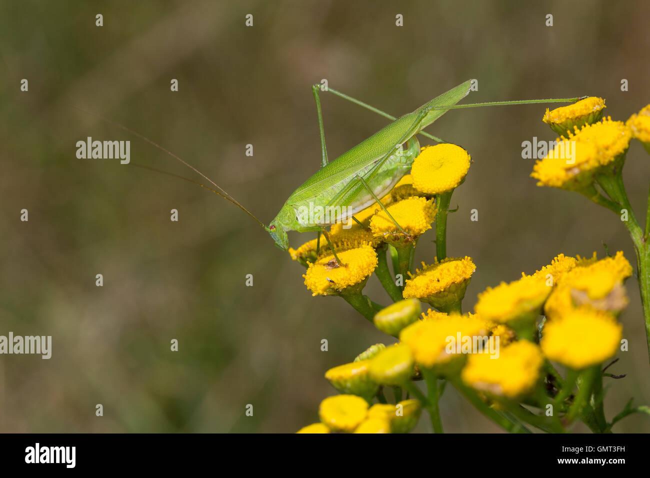 Gemeine Sichelschrecke, Weibchen, Phaneroptera falcata, Sickle-bearing Bush-cricket, Sickle-bearing Bush cricket, - Stock Image