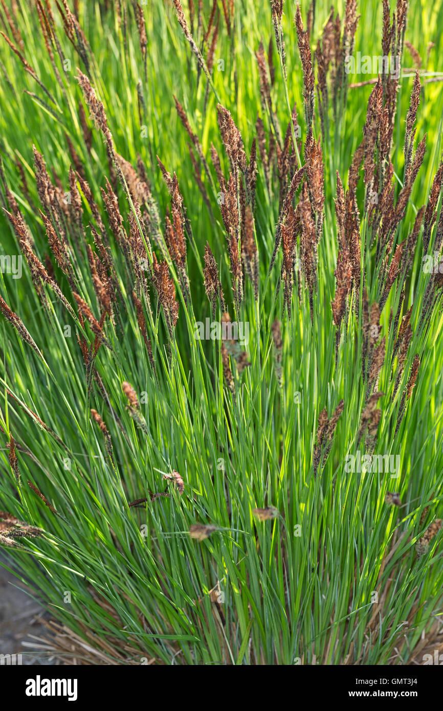 Steife Segge, Steif-Segge, Carex elata, Tussock Sedge, Tufted Sedge - Stock Image