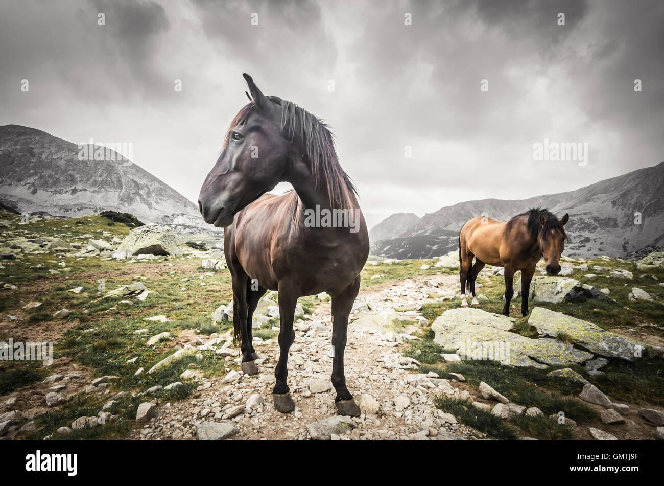 Wild horses in mountains. Horse in Retezat mountain, Romania. - Stock Image