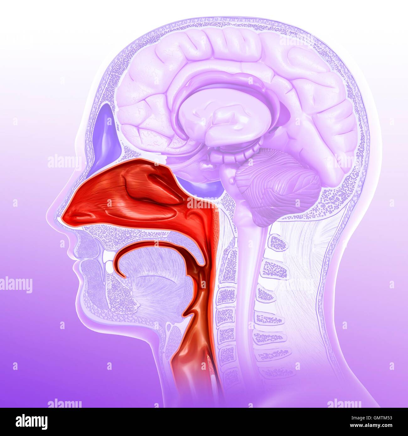 Human Nasal Cavity Stock Photos & Human Nasal Cavity Stock Images ...