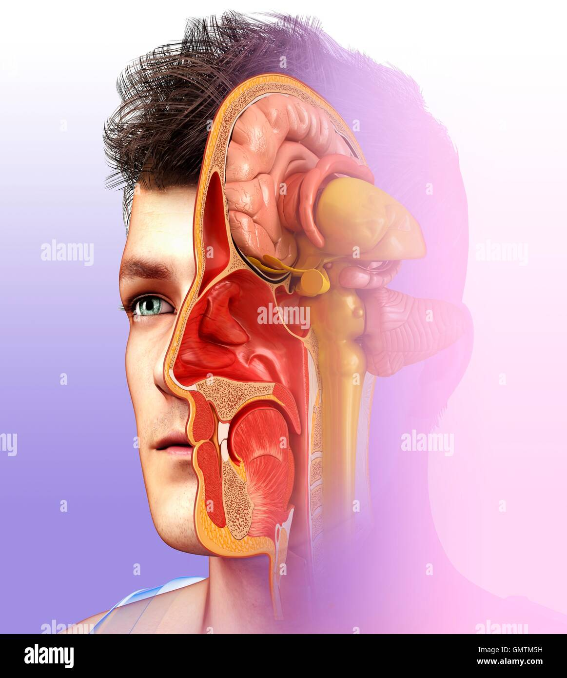 Illustration of human brain anatomy with nasal cavity Stock Photo ...