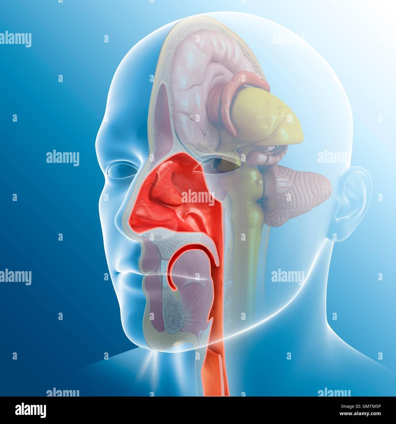 Human Nasal Cavity Stock Photos Human Nasal Cavity Stock Images