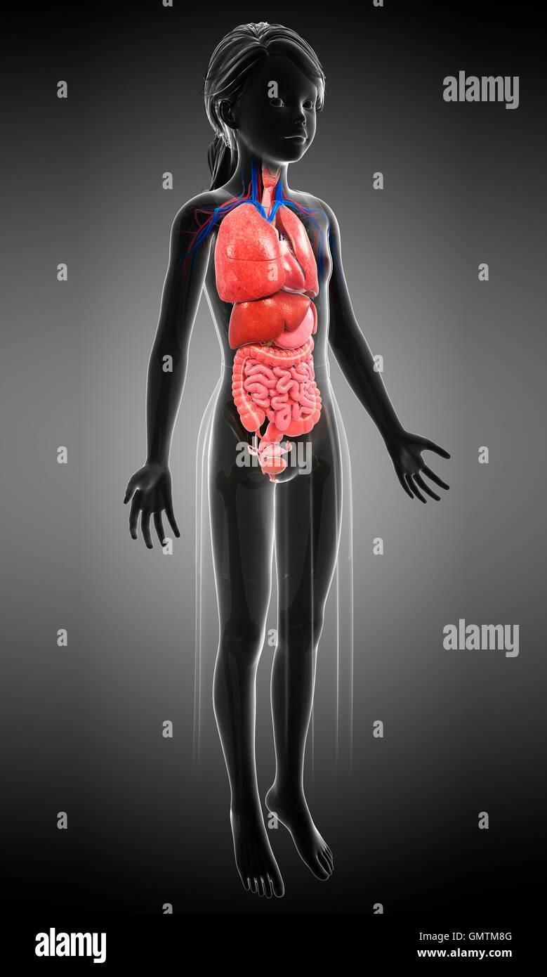 Illustration of a teenage girl\'s internal organs Stock Photo ...
