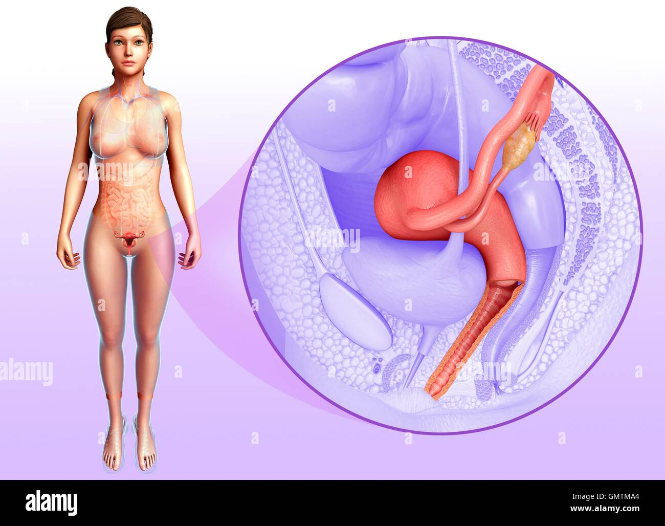 Female Reproductive System High Resolution Stock Photography And Images Alamy