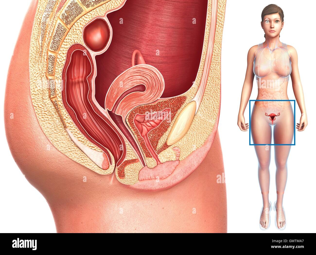 Illustration Of Female Reproductive System Stock Photo Alamy
