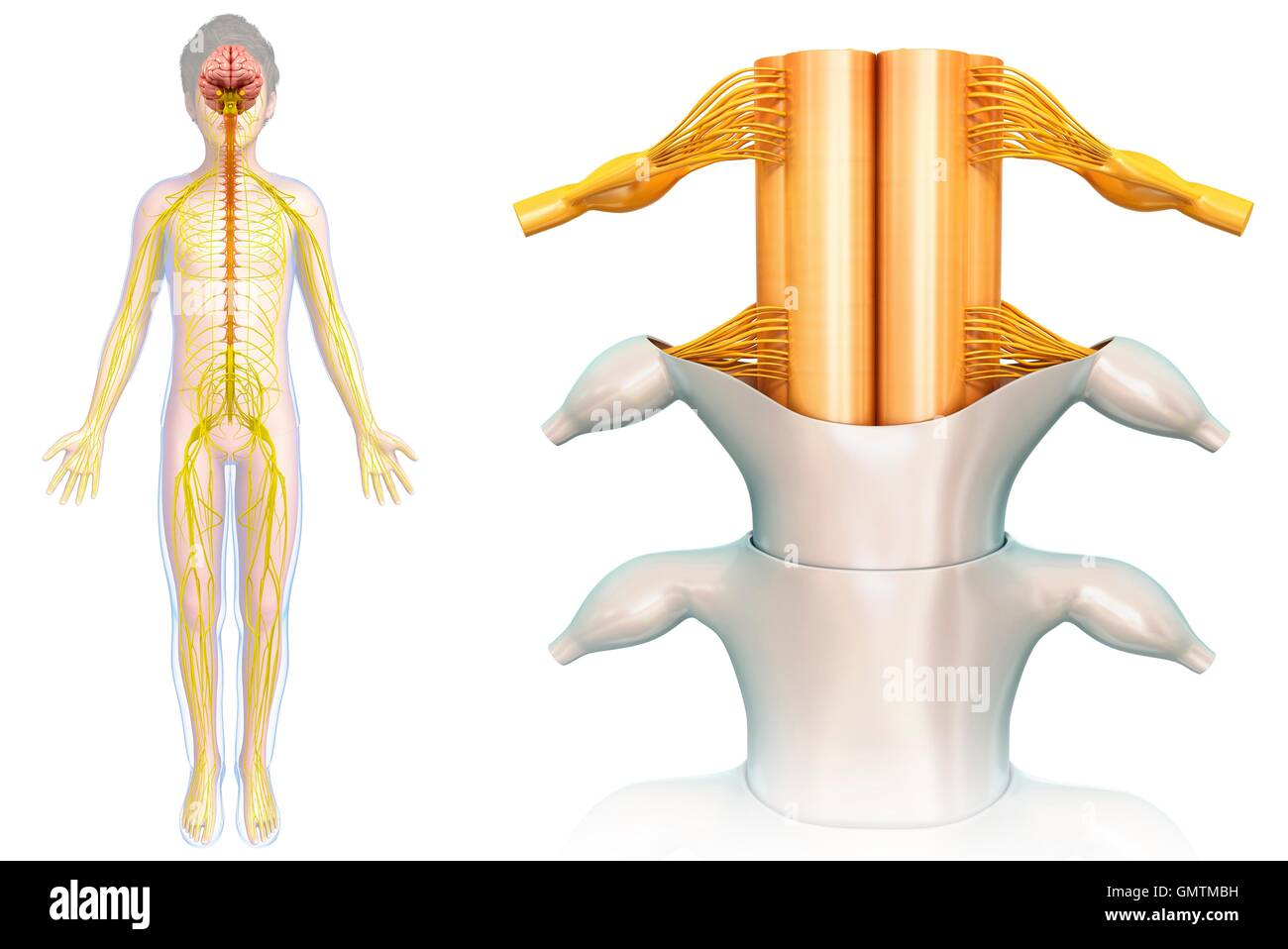 Healthy Spinal Cord Cut Out Stock Images & Pictures - Alamy