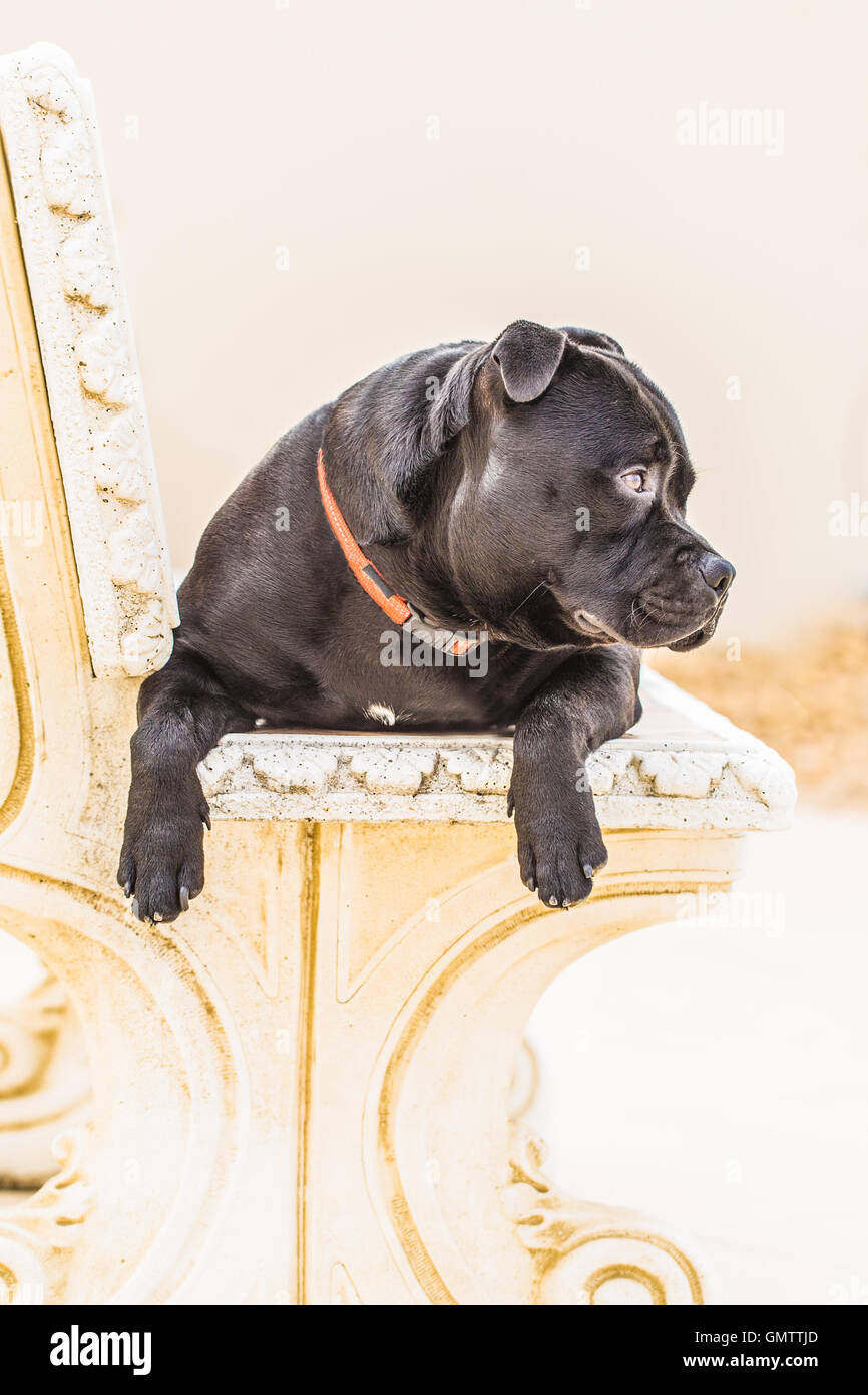 Portrait of a black staffordshire bull terrier dog sitting on a stone bench with his paws hanging over the front. - Stock Image