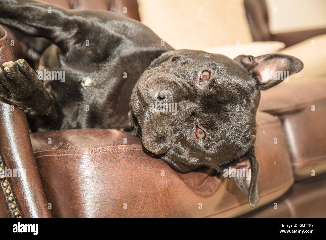 Black Staffordshire Bull Terrier dog lying on a brown leather sofa, couch, with his head hanging off the side. He - Stock Image