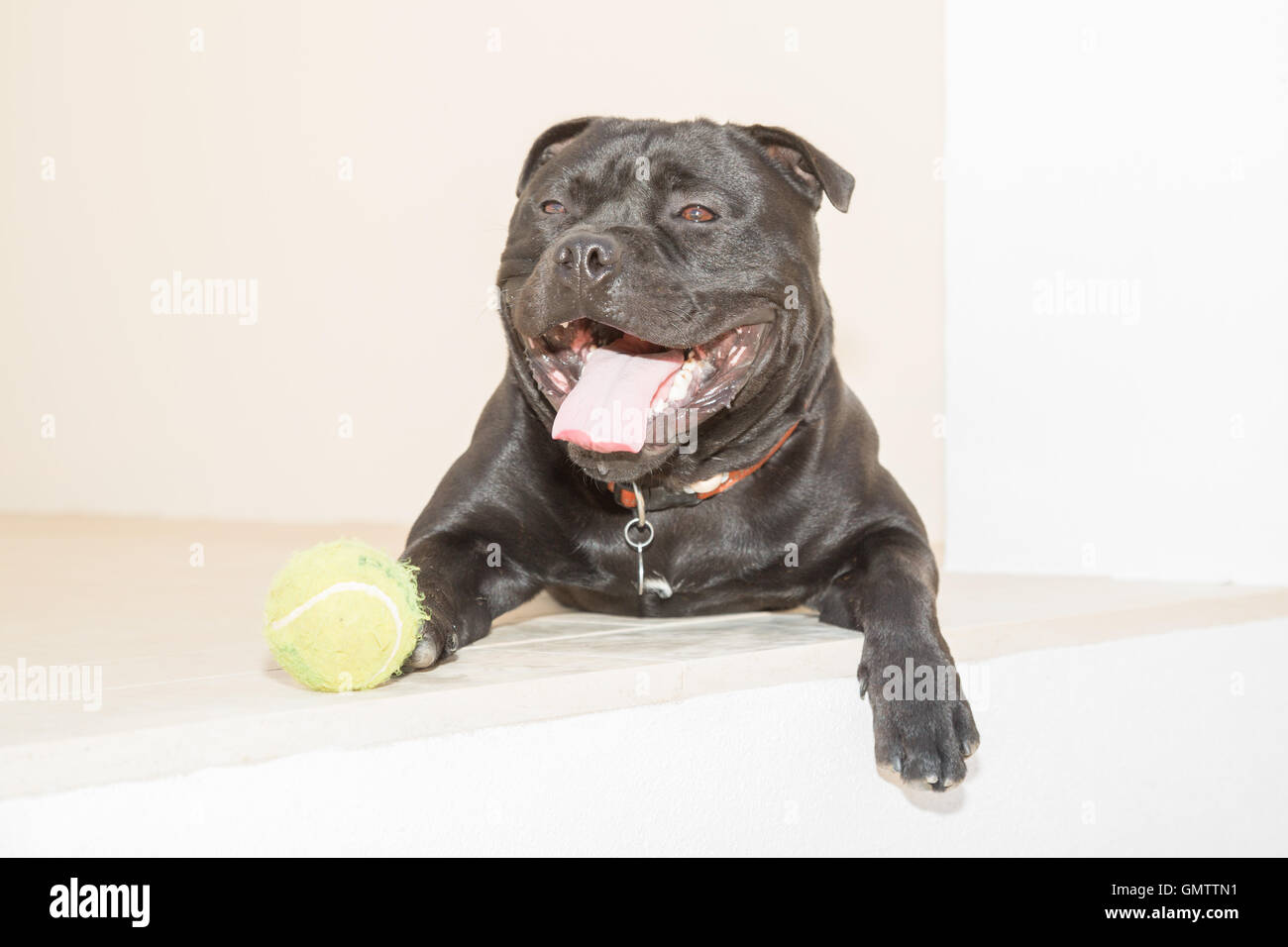 Portrait of a Staffordshire Bull Terrier dog lying down outside on white stone. He has a tennis ball by his side. - Stock Image