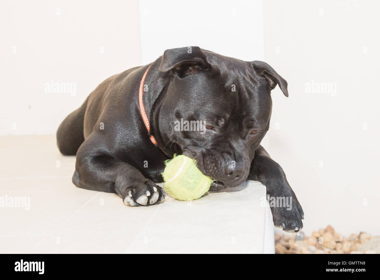 Portrait of a Staffordshire Bull Terrier dog lying down outside on white stone. He has a tennis ball in his mouth. - Stock Image