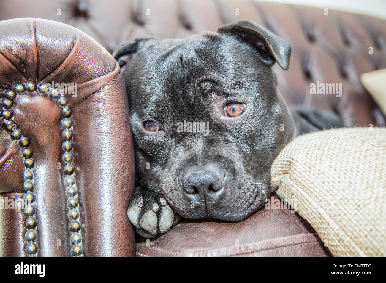 A staffordshire bull terrier dog portrait, he has just woken up and is looking off the end of a sofa with a cute - Stock Image